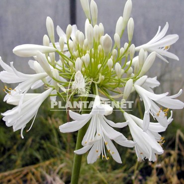 AGAPANTHUS Headbourne White