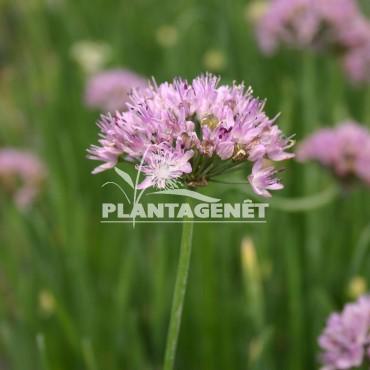 ALLIUM senescens  ssp montanum