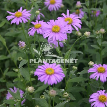 ASTER x frikartii Flora's Delight