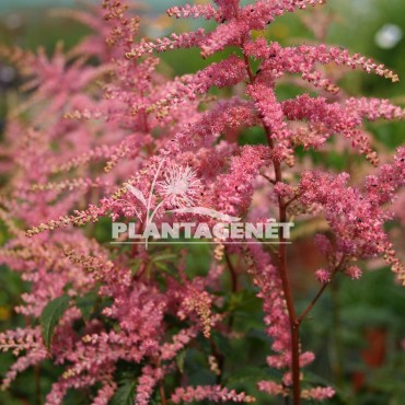 ASTILBE x arendsii Bressingham Beauty