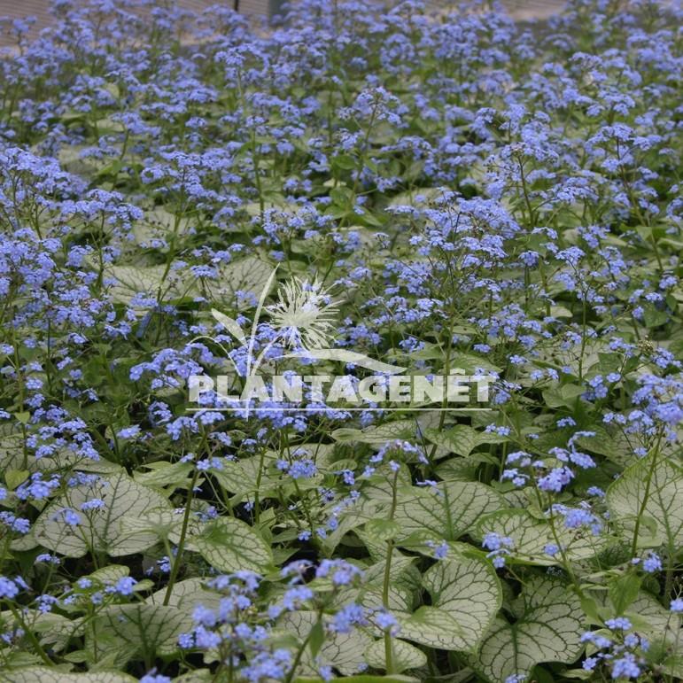 BRUNNERA macrophylla Jack Frost®