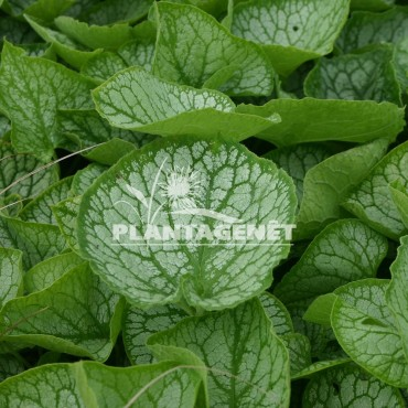 BRUNNERA   macrophylla Mrs Morse®