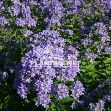 CAMPANULA lactiflora Pritchards Variety