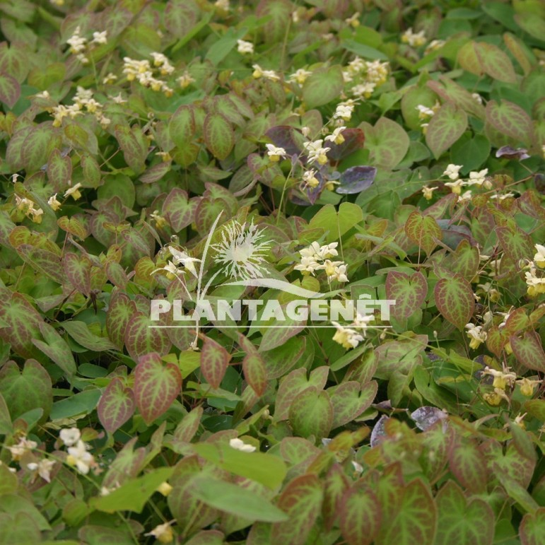 EPIMEDIUM x versicolor Sulphureum