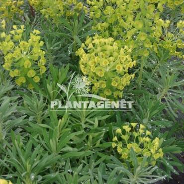 EUPHORBIA characias  ssp wulfenii