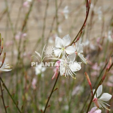 GAURA lindheimeri Whirling Butterflies