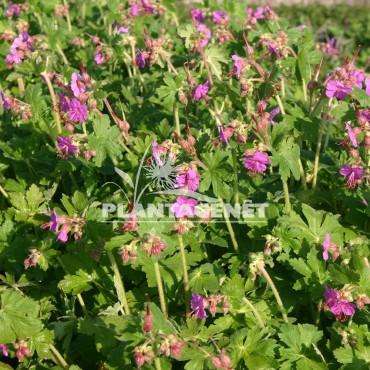 GERANIUM macrorrhizhum Bevan's Variety