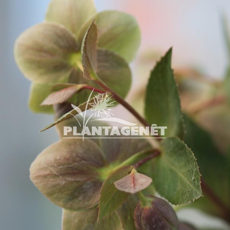 HELLEBORUS x sternii Boughton