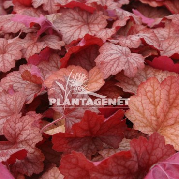 HEUCHERA Georgia Peach®