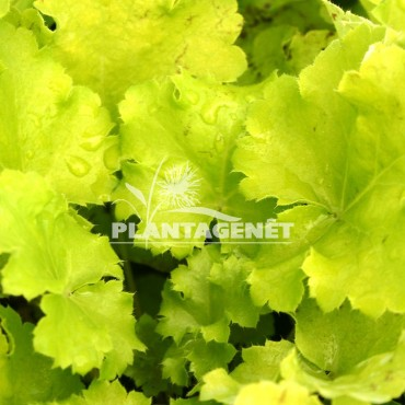 HEUCHERA Lime Rickey®