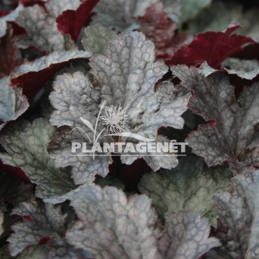 HEUCHERA Plum Pudding®