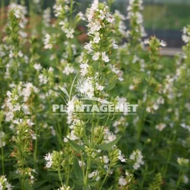 HYSSOPUS officinalis  f.albus