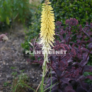 KNIPHOFIA Little Maid