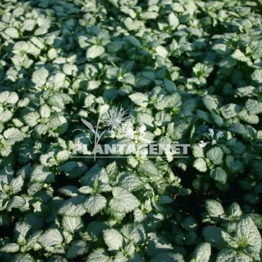 LAMIUM maculatum Mega White