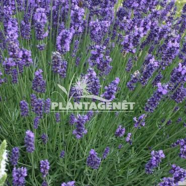 LAVANDULA Twickel Purple