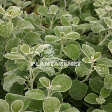 MARRUBIUM cylleneum