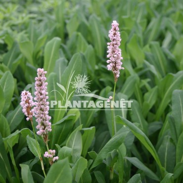 PERSICARIA affinis Kabouter
