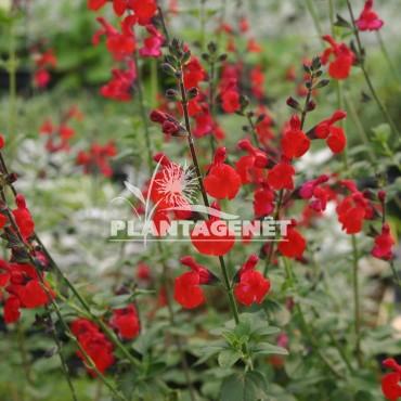 SALVIA x jamensis Royal Bumble