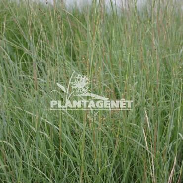 SCHIZACHYRIUM scoparius Prairie Blues