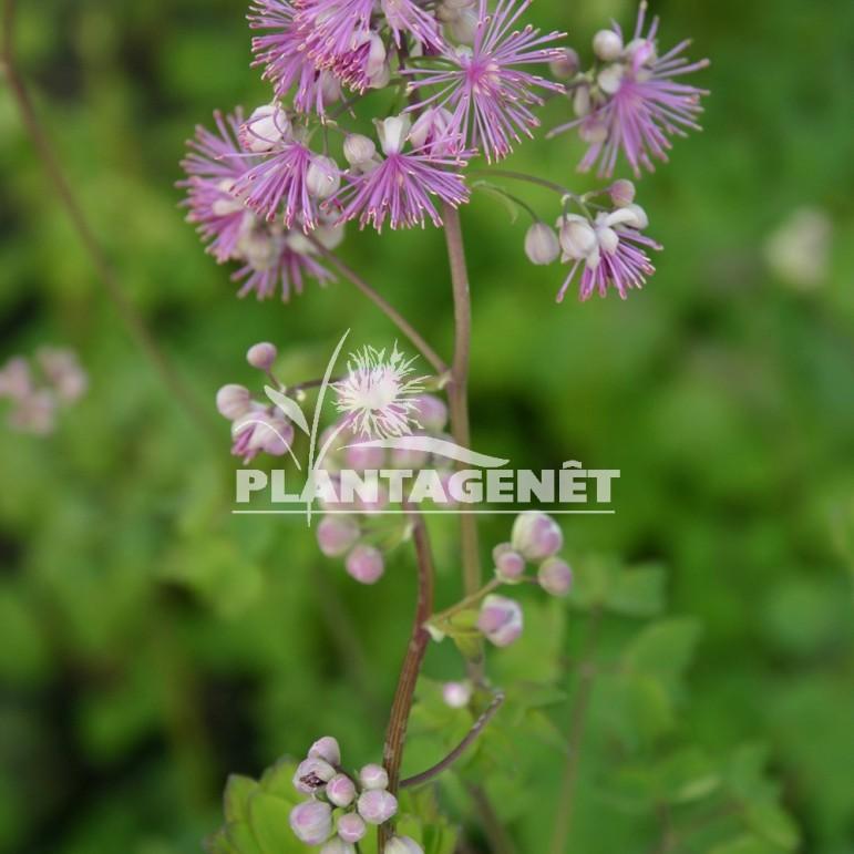 THALICTRUM aquilegiifolium Purpureum