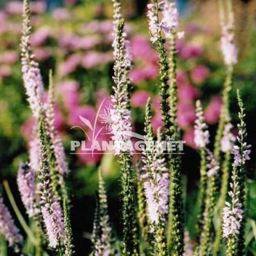 VERONICA spicata Pink Damask