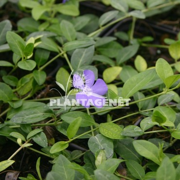 VINCA minor Bowles