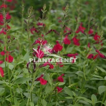 SALVIA x jamensis Raspberry Royale