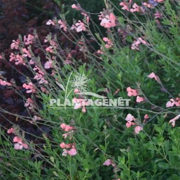 SALVIA x jamensis Ribambelle