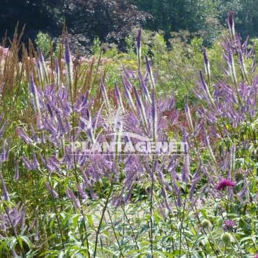 VERONICASTRUM virginicum Lavendelturm