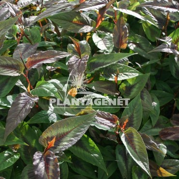 PERSICARIA microcephala  Red Dragon