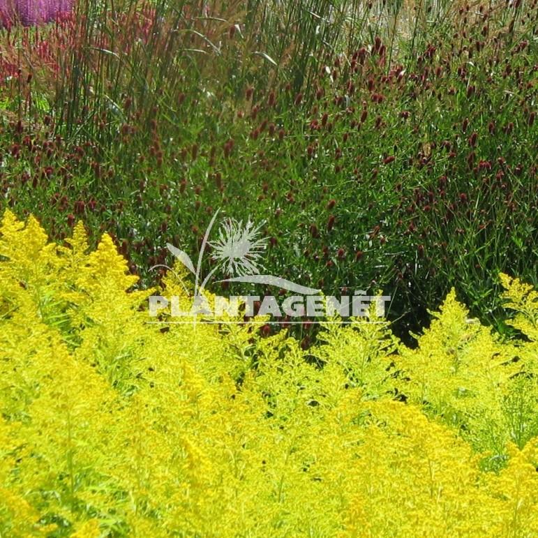 SOLIDAGO Goldenmosa