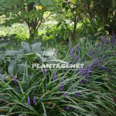 LIRIOPE muscari Big Blue