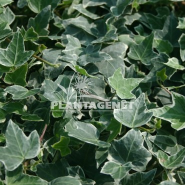 HEDERA helix Esther