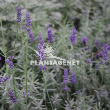 LAVANDULA angustifolia Imperial Gem