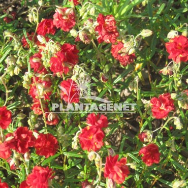 HELIANTHEMUM Amible Plenum