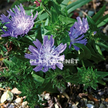 Photo vivace STOKESIA laevis