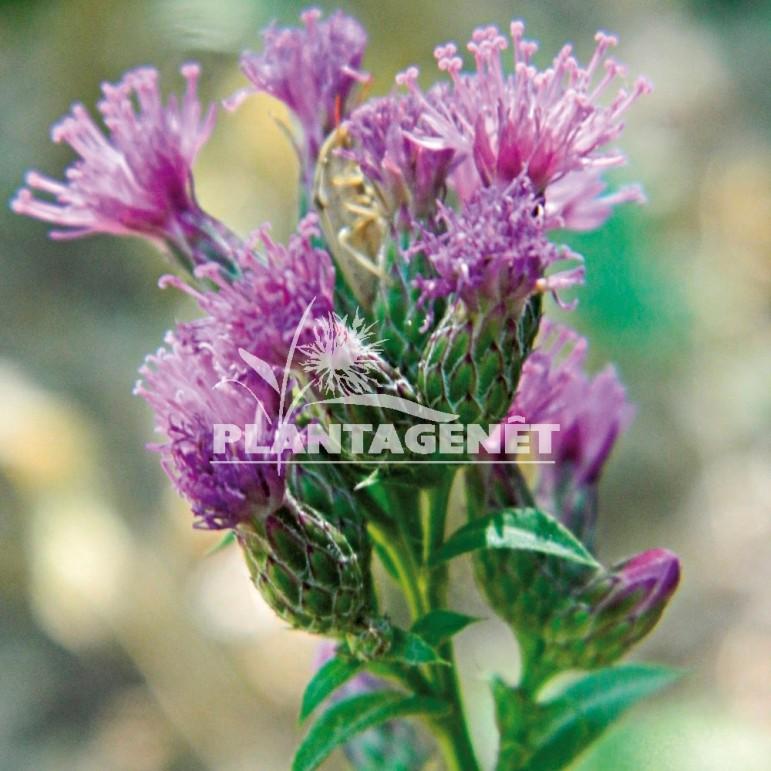 Photo vivace SERRATULA tinctoria ssp seoanei