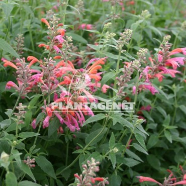AGASTACHE Tangerine Dream