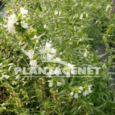 fleur d' HYSSOPUS officinalis  f.albus / Hysope officinale