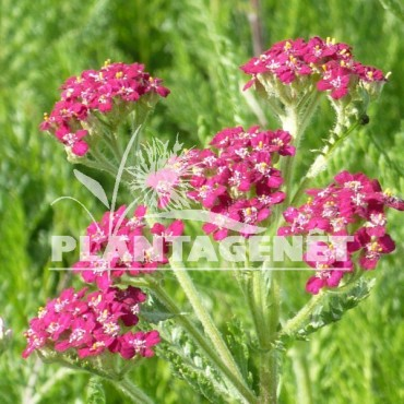 ACHILLEA  millefolium Cassis / Achillée Cassis gros plan fleur
