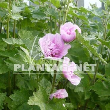 ALCALTHAEA suffrutescens Parkrondell