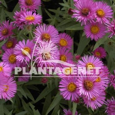 ASTER novae-angliae Alma Potschke  détail fleur