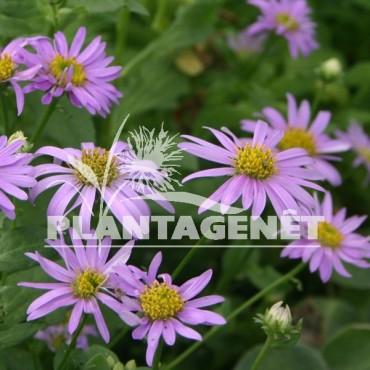 ASTER amellus Rosa Erfullung massif de fleurs