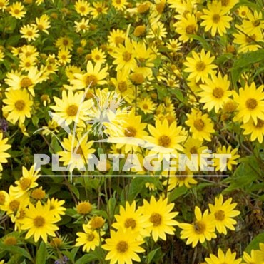 HELIANTHUS Lemon Queen  fleurs