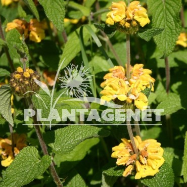 PHLOMIS longifolia var. bailanica
