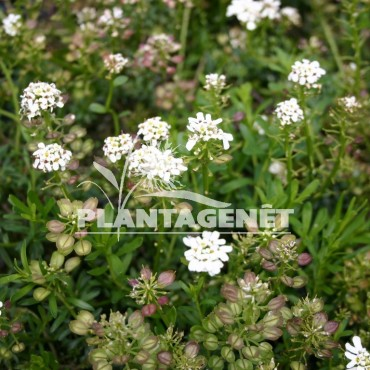IBERIS sempervirens Snow Cushion