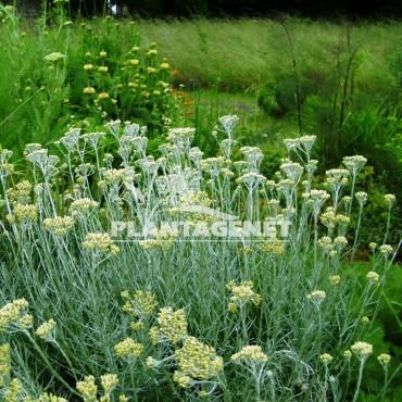 HELICHRYSUM italicum  ssp serotinum