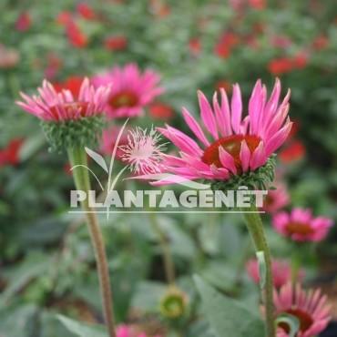 ECHINACEA purpurea Ruby Glow®  / Rudbeckia pourpre