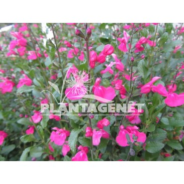 Salvia microphylla Pink Beauty / Sauge
