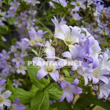 CAMPANULA latifolia Gloaming / campanule